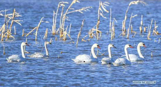 Swans spotted at Yellow River wetland