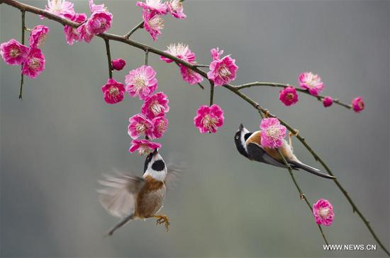 Birds gather around plum blossom