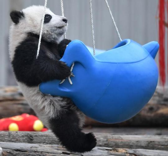 A giant panda cub plays in Wolong, Sichuan Province, in January. (Photo/Xinhua)