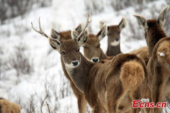 澜沧江附近发现濒危鹿