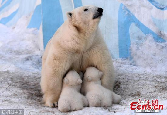 Enchanting images of polar bear mum and cubs