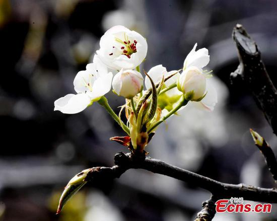 Pear blossoms in Sichuan erupt in breath-taking beauty