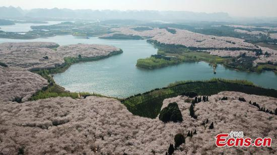 Blooming cherry blossoms in Gui'an New Area