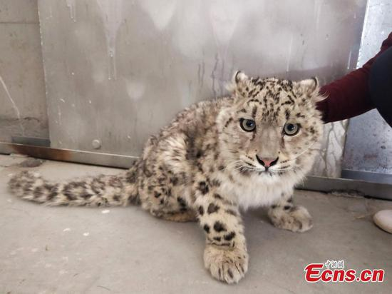 Farmer saves snow leopard cub in Tibet