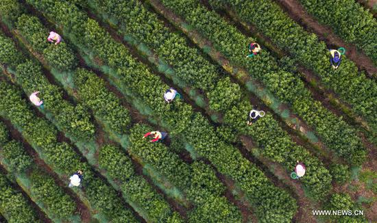 Tea leaves harvested in Suzhou