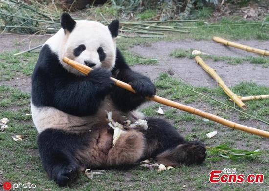 Panda Jiao Qing enjoys time at Berlin zoo