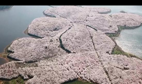 Cherry blossoms form pink carpet