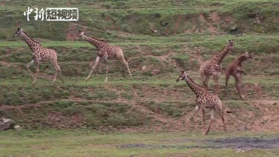 African giraffes adapt to Mountain City