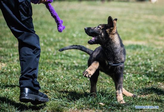 China's first cloned police dog receives training in Yunnan