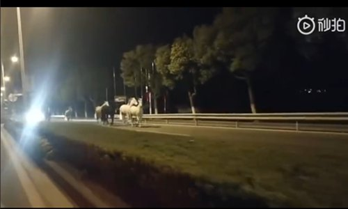 Race horses take an unescorted evening stroll through Shanghai