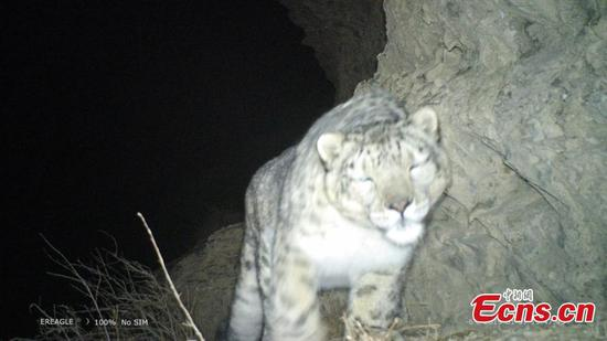 Snow leopard spotted in Gansu's historical trade route