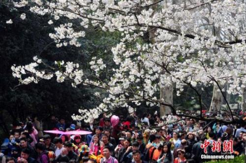 Cherry blossoms on the campus of Wuhan University attract crowds of visitors. (File photo/China News Service)
