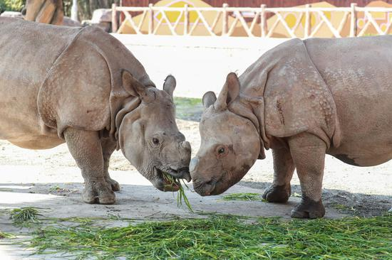 Rare Asian rhino makes public debut at Shanghai wild animal park