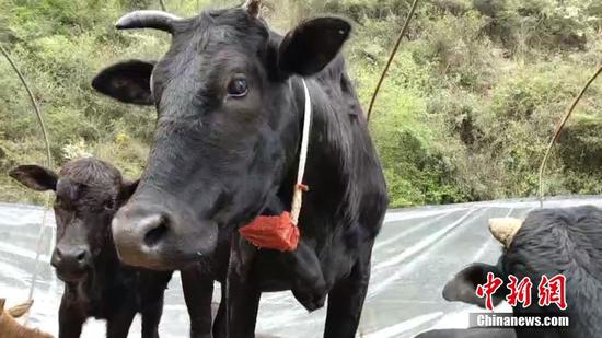 Rancher uses GPS to track cattle
