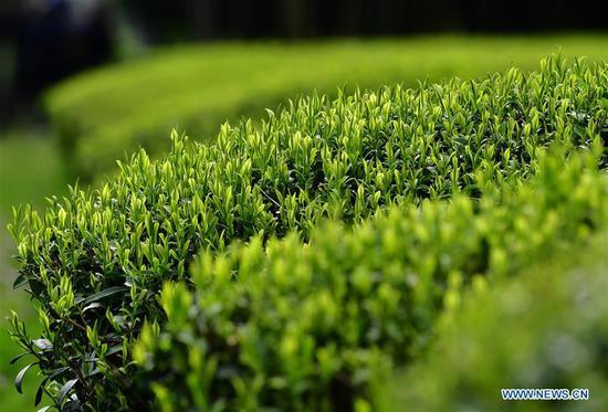 武夷山茶园下个月进入收成季节