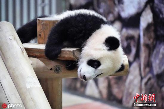 日本熊猫赛欣的可爱时刻