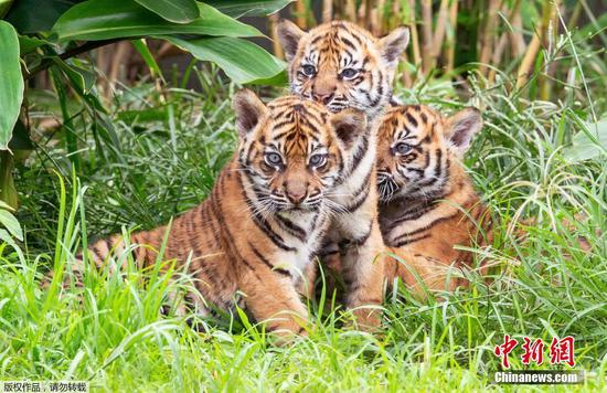 Three rare Sumatran tiger cubs debut at Taronga Zoo