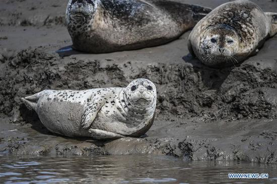 Spotted seals rest on coastal mudflat in Panjin, Liaoning