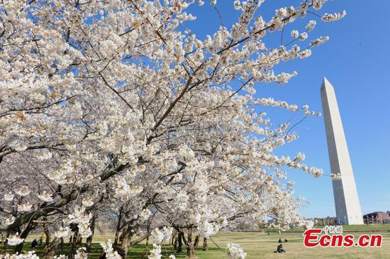 Cherry blossoms reach peak bloom in Washington D.C., U.S.