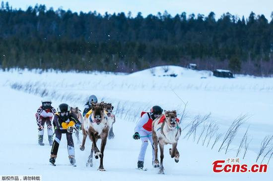 Reindeer race on 1000 meter u-shaped track in Finland
