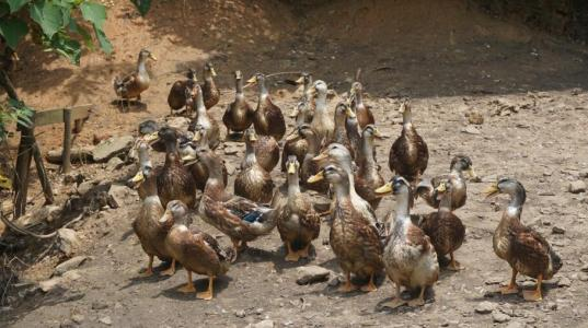 Chinese duck meat producers upbeat after new low-tariff quotas from EU