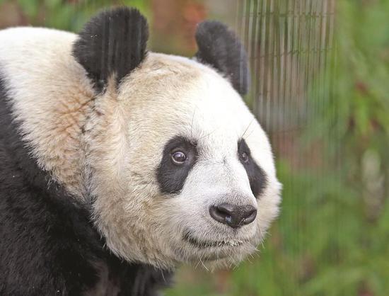 Edinburgh Zoo panda artificially inseminated