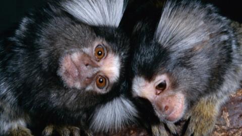 Transgenic monkeys with human gene show human-like brain development