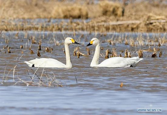 Swans at shoal of Yellow River in China's Inner Mongolia