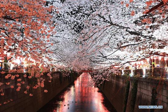 Cherry blossom on bank of Meguro river in Tokyo