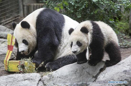 Giant panda cub Xiao Liwu (R) and its mother Bai Yun stay together during his first birthday celebration at the San Diego Zoo, California, the United States, July 29, 2013. (Photo/Xinhua)
