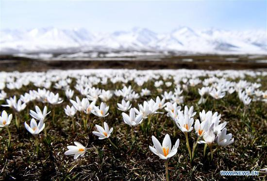 Wild lily flowers at Narat scenic spot in Xinjiang