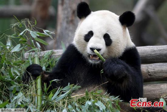 Panda Jiao Qing enjoys time in Berlin zoo