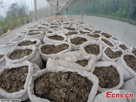 Singapore seizes 12.7 tons of pangolin scales