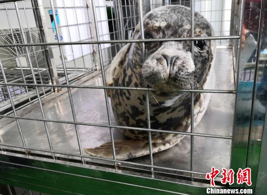 24 rare spotted seals released to sea