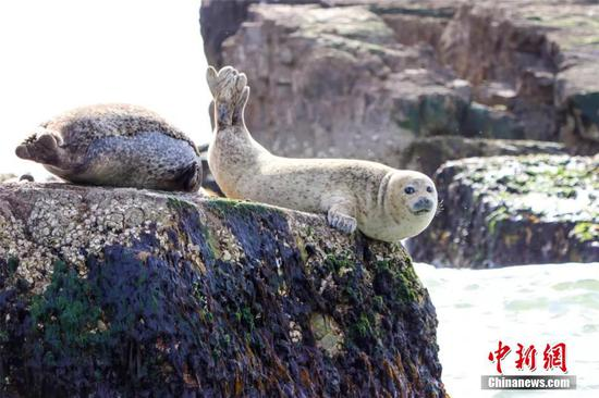 Spotted seals return to resource-rich Changdao Island waters