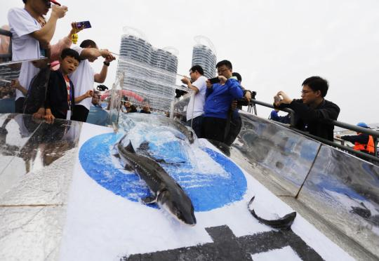 Rare Chinese sturgeons are released into the Yangtze River in Yichang, Hubei province, on Saturday. They are part of China's first batch of 700 such sturgeons trained for rewilding. (Photo for China Daily/Huang Yuyang)