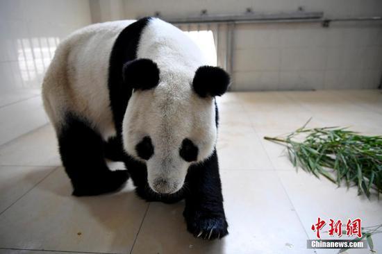 Giant panda Yuanyuan.