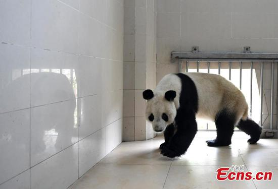 Giant panda leaves for Austria for four-year research project