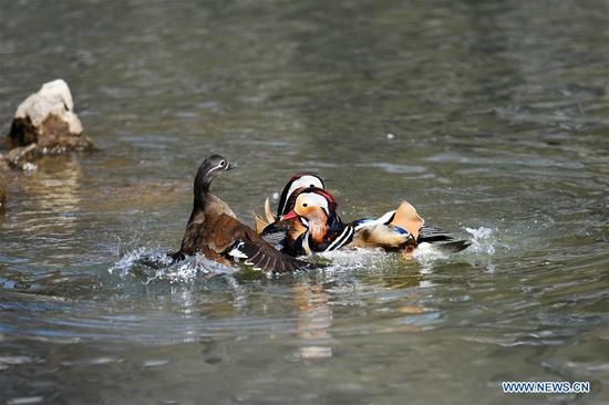 Mandarin ducks at Zhaolin Park in Harbin