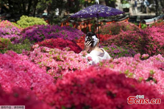 Azalea flowers bloom in Nezu Shrine, Japan