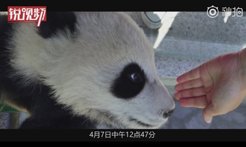 The visitor touches the panda cub. (Screenshot photo/Cover News)