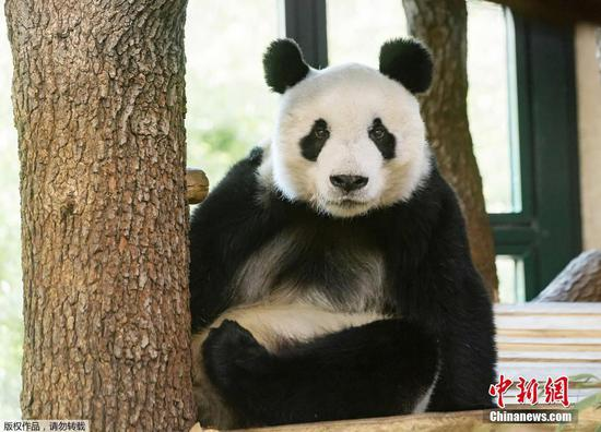 Giant panda settles into new home in Austria