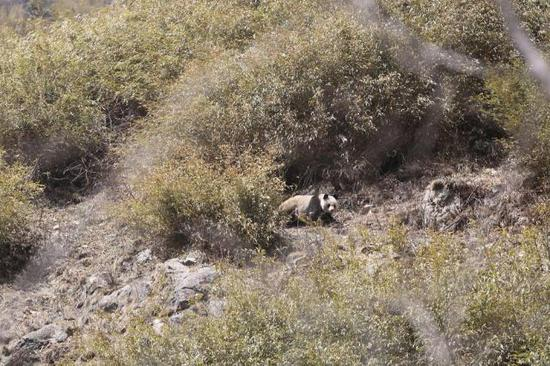 Four single wild giant pandas wandering away from their territory