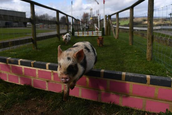 Scientists plan to grow human organs in pigs for transplantation