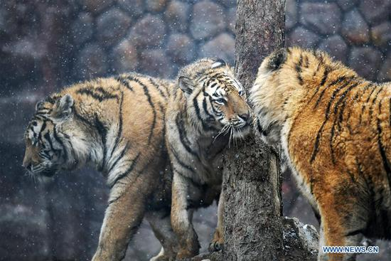 Siberian tigers in Hailin, NE China's Heilongjiang