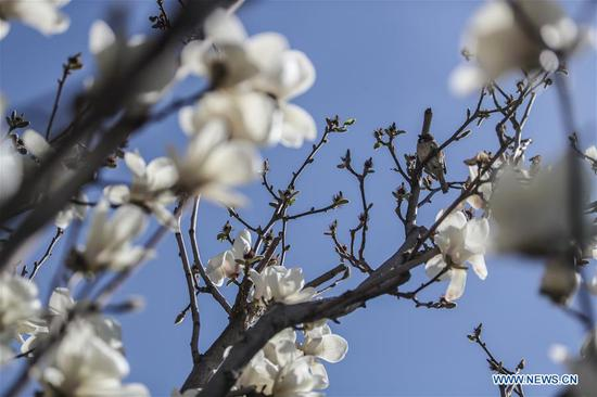 Magnolia flowers at Shenyang Palace Museum