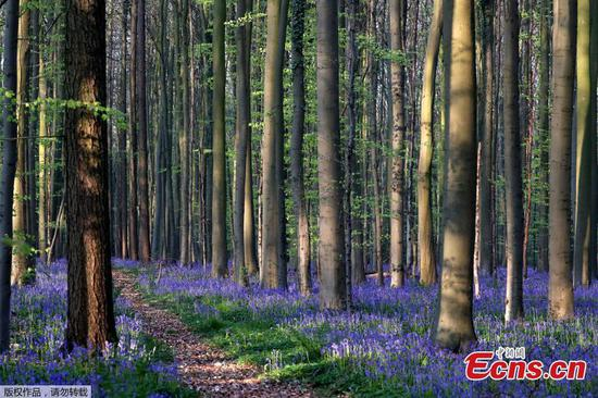 Wild bluebells bloom in Belgium