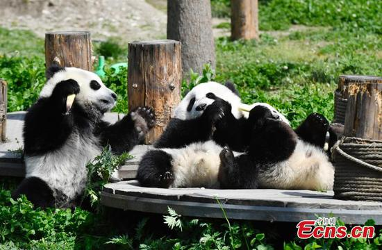 Giant panda cubs enjoy spring sunshine in SW China