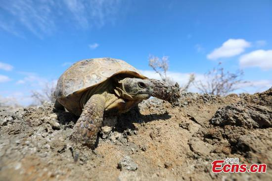 Protected tortoise found in Xinjiang wetland