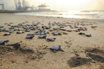 Life-saving work of the turtle squad